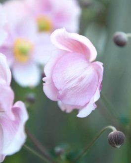 Sonnenröschen 'Lawrensons Pink' 2