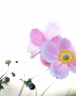 Sonnenröschen 'Lawrensons Pink' 1